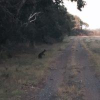 Yep, that's a kangaroo you see.